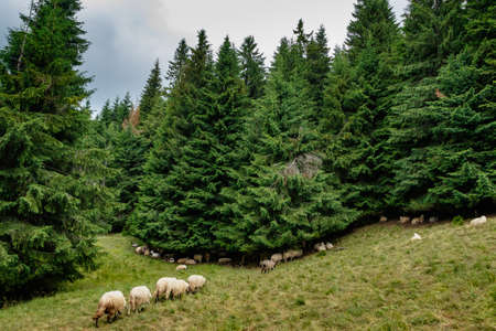 Sheep rest after milking under the spruce trees of the Carpathian forest.