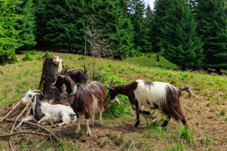 Goats rest after milking in a meadow near a coniferous forest in the Carpathians. Banque d'images