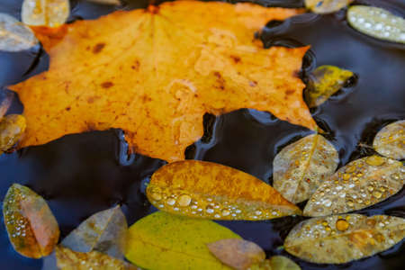 Beautiful autumn foliage with multi-colored droplets of moisture floats down the evening river.