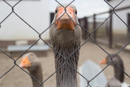 Goose on the farm Standard-Bild