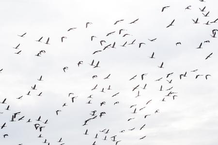 flying birds migratory passage sandhill crane in the sky Standard-Bild