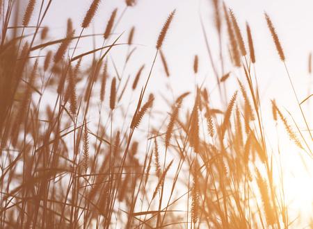 Beautiful nature landscape - Alpine meadow. Grass closeup with sunbeams. Beautiful Nature landscape with sun flare. Vintage Sepia toned