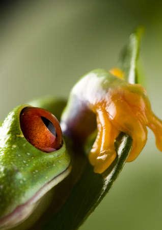 colours tints: Red eyed leaf frog