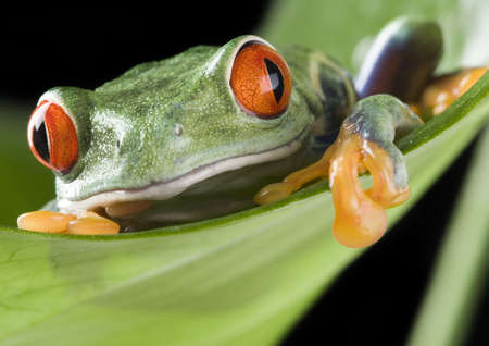 Red frog Stock Photo - 709565