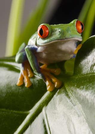 rotaugenlaubfrosch: Tree frog Stock Photo