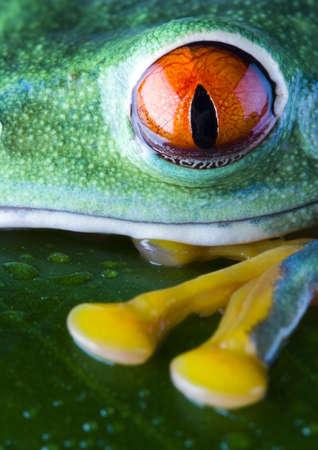 rotaugenlaubfrosch: Red-eyes Stock Photo