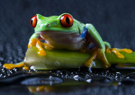 colours tints: Red frog