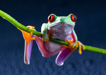 green frog: Red frog