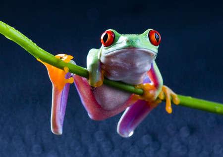 blue frog: Roja rana