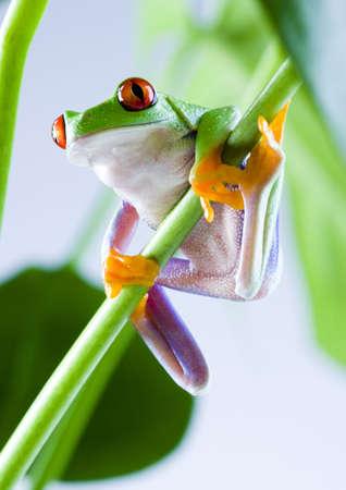 lean over: Red eyed leaf frog