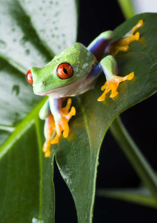 amphibia: Red eyed leaf frog