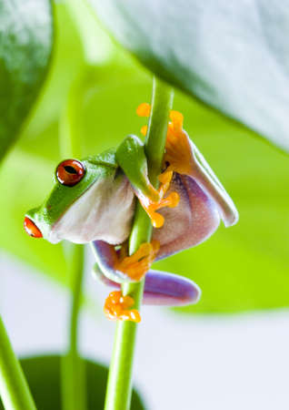 adaptation: Red eyed leaf frog