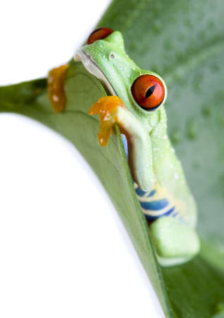 Red eye frog Stock Photo - 720691