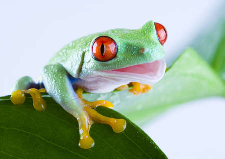rotaugenlaubfrosch: Frog on the leaf