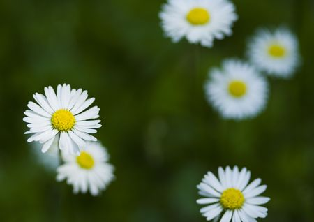 Daisy is a small white flower with a yellow centre which usually daisy is a small white flower with a yellow centre which usually grows wild on mightylinksfo