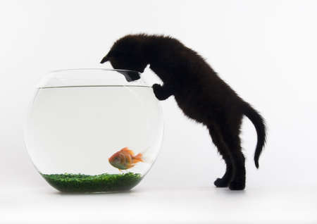 gato negro: Gato negro y oro de los peces