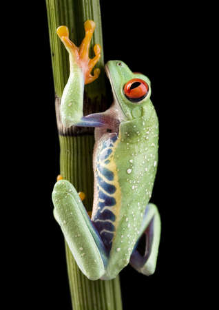 rotaugenlaubfrosch: Frog Stock Photo