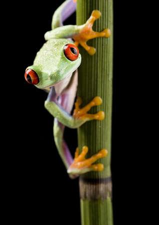 rotaugenlaubfrosch: Red eye frog