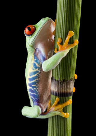 bulging: Red eye frog