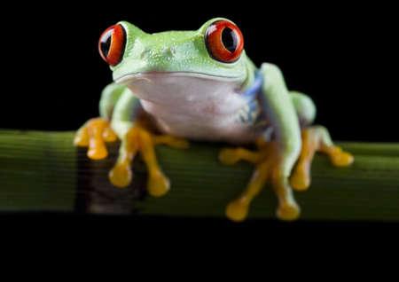 Red eye frog photo