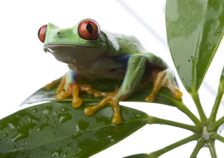 rotaugenlaubfrosch: Red eyed tree frog