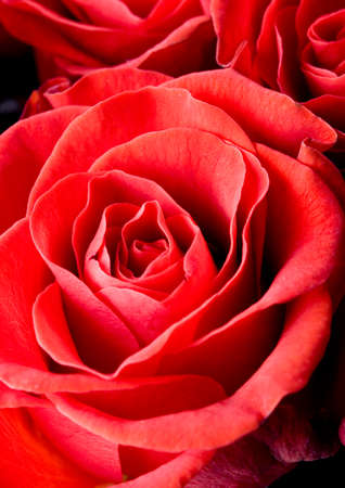 pinks: Red roses Stock Photo