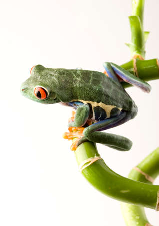 lean out: Red eye frog