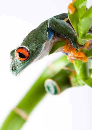 oeil rouge: Red eye frog