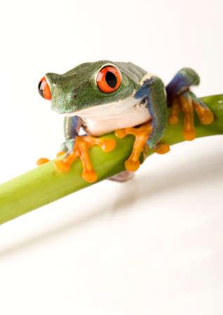 anura: Crazy Frog
