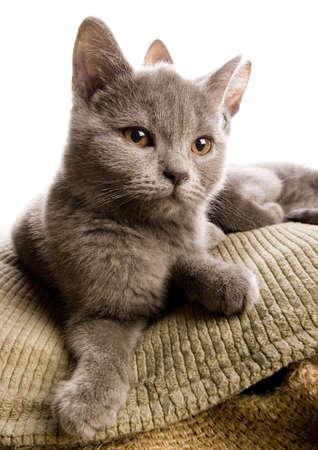 felis silvestris catus: Cats