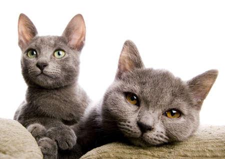 blue grey coat: Russian Blue & British Shorthair cats
