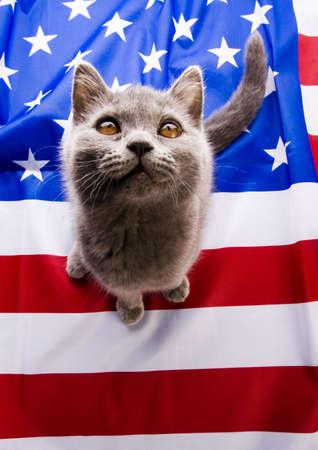 felis silvestris catus: British Shorthair cat on U.S.A flag   Stock Photo