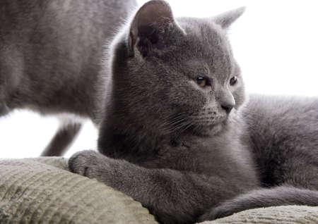 blue grey coat: British Shorthair  cat   Stock Photo