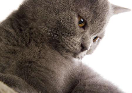 felis silvestris catus: Animal Stock Photo