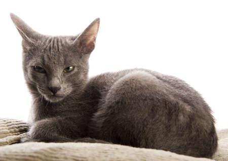 blue grey coat: Cat