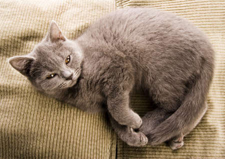 blue grey coat: British Shorthair  cat   Stock Photo