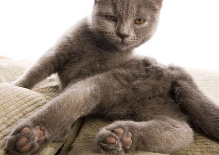 felis silvestris catus: Blue British Shorthair cat