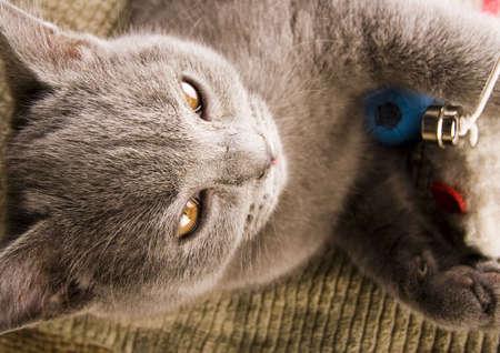 felis silvestris catus: Kitten
