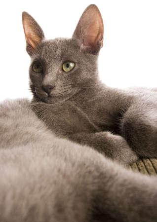 russian blue: Russian Blue cat