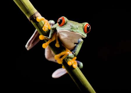 oeil rouge: Les yeux rouges grenouille