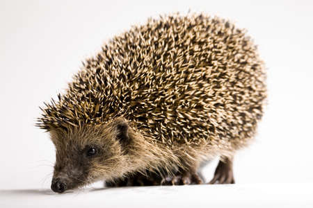 prick: Hedgehog