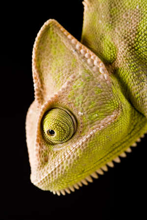 Green chameleon photo