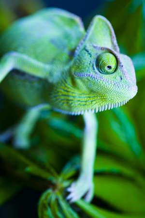 Chameleon on the leaf photo