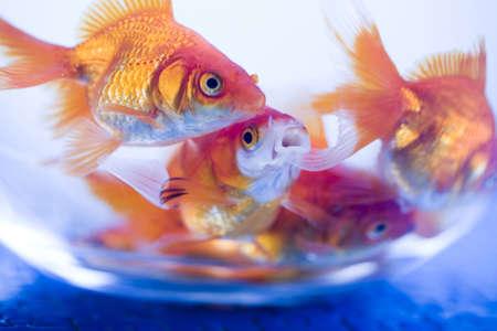 Goldfishes   photo