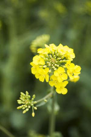 canola: Yellow canola fields Stock Photo