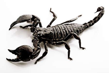 Animal Image - Scorpion Stock Photo - 3281765