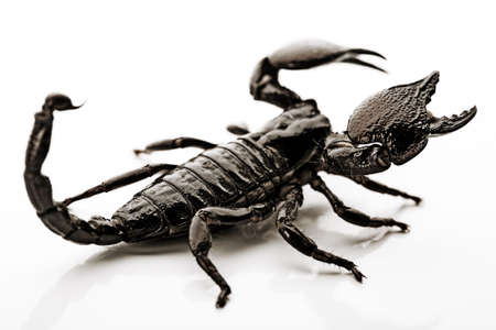 Scorpion Stock Photo - 3281763