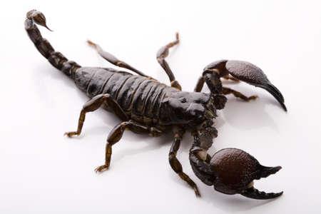 Escorpión negro Foto de archivo - 3970312