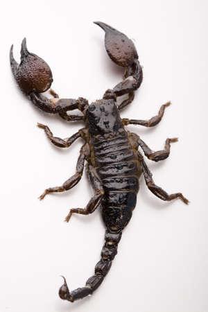 erectile: Scorpion on the white background