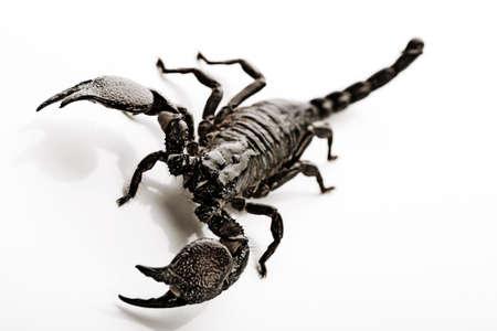 Emporer Scorpion  photo